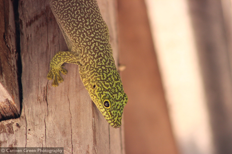 Standing's day gecko at zombitse-vohibasia national park, Madagascar