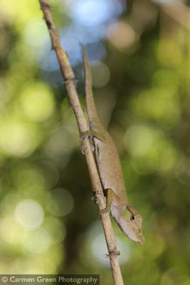Nose-horned Chameleon in Ranomafana National Park, Madagascar