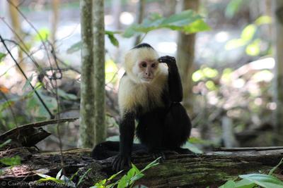 White-headed Capuchin Monkey, Costa Rica