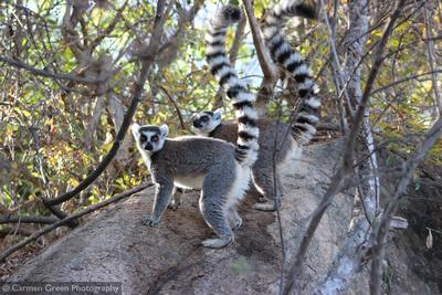 Ring-tailed lemurs at Anja community reserve