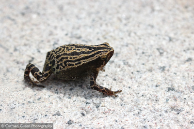 Spotted Narrow-mouthed Frog in Hong Kong Wetland Park