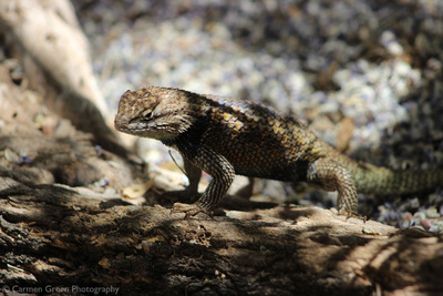 Desert spiny lizard, Desert Botanical Gardens, Phoenix