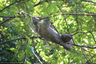 Three-toed sloth at Manuel Antonio National Park, Costa Rica,
