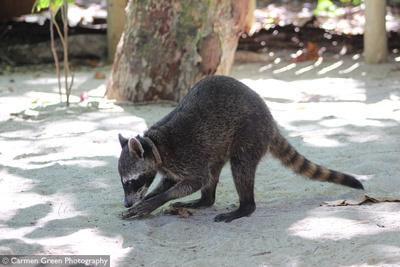 Raccoon at Manuel Antonio National Park, Costa Rica,