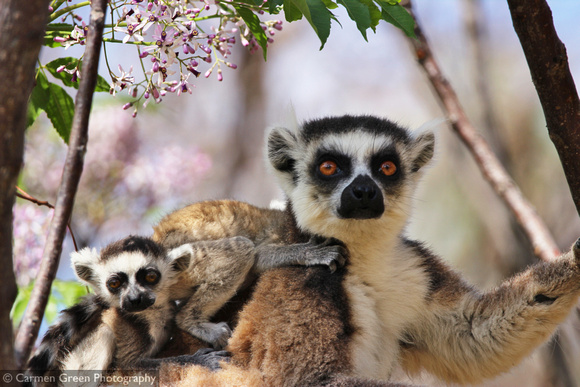 Mother and baby ring-tailed lemurs at Anja Community Reserve, Madagascar