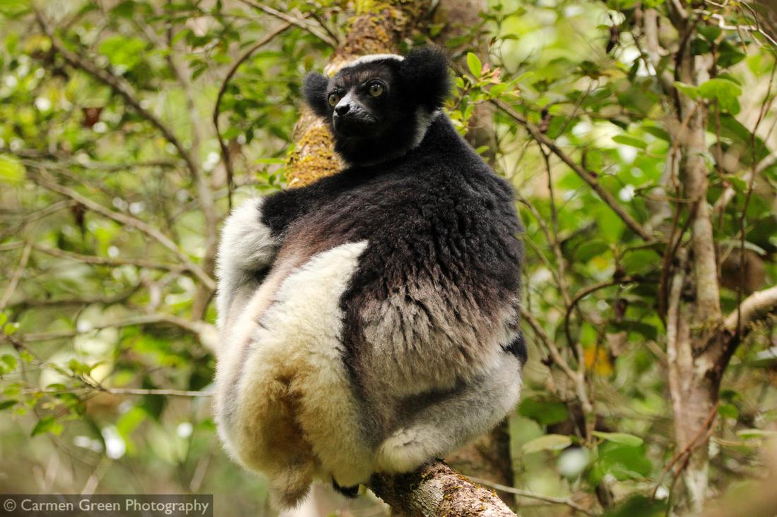 Indri, Analamazoatra Special Reserve, Andasibe-Mantadia, Madagascar