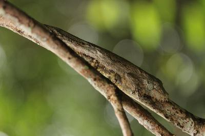 Mossy leaf-tailed gecko, Andasibe-Mantadia National Park, Madagascar