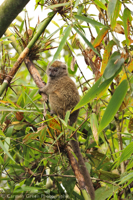 Grey bamboo lemur, Ranomafana National Park, Madagascar