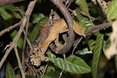 Satanic leaf-tailed gecko, Ranomafana National Park