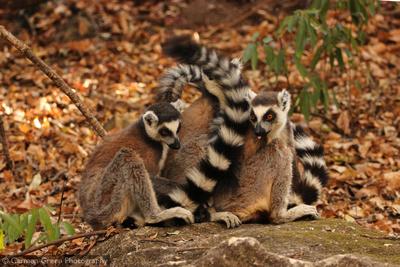 Ring-tailed lemurs at Isalo National Park, Madagascar