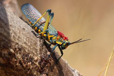 Rainbow milkweedgrasshopper, Anja Community Reserve, Madagascar