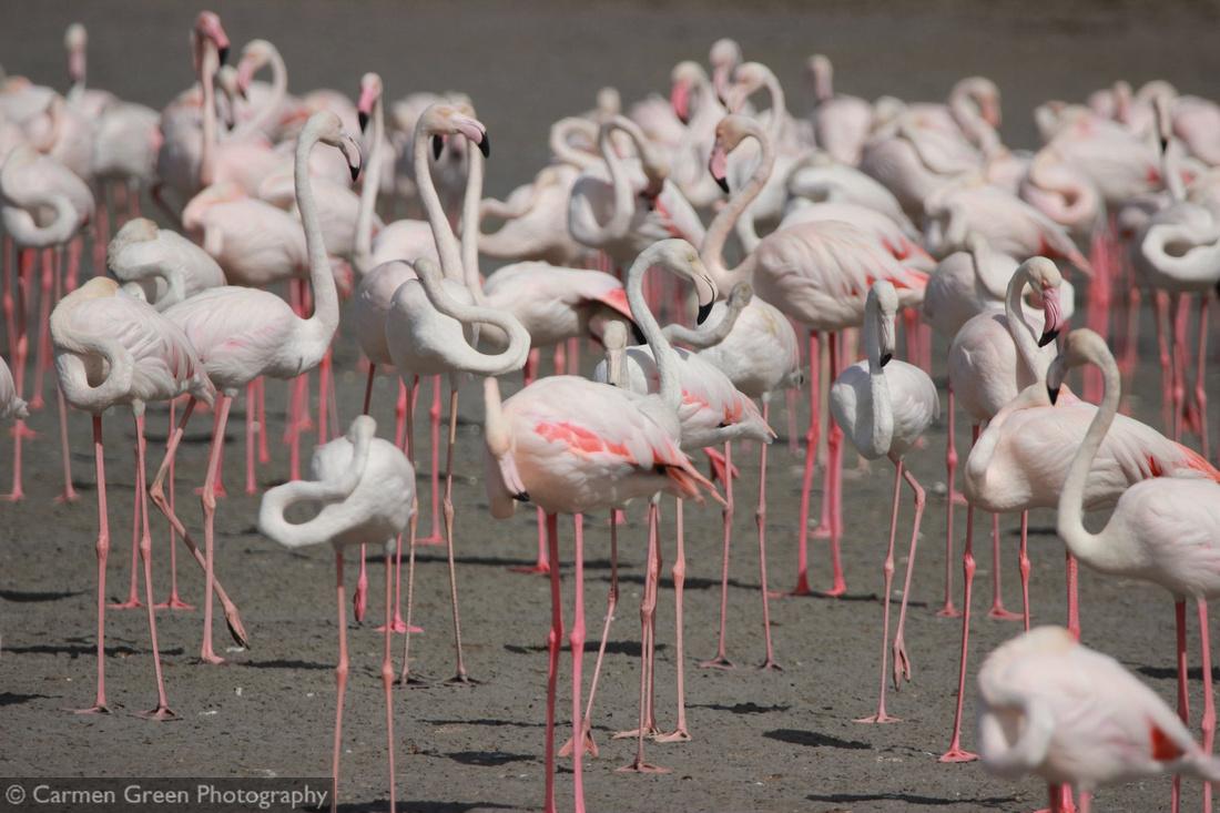 Flamingos at Ras al Khor wildlife sanctuary, Dubai