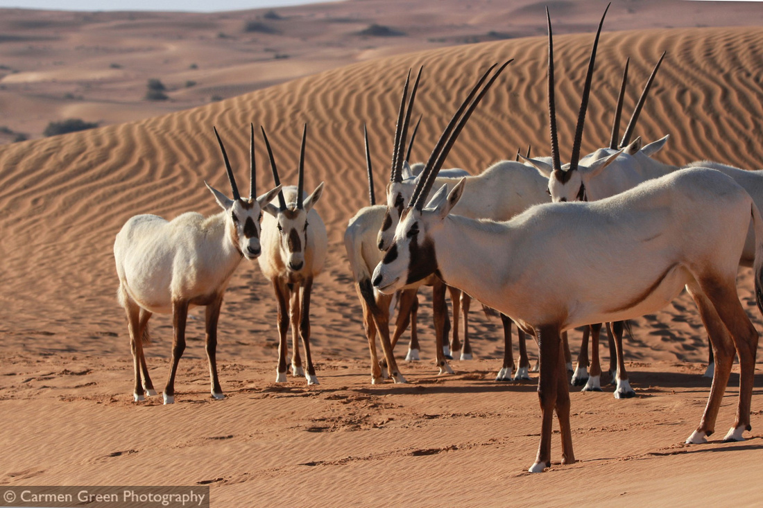Arabian oryx at Dubai Desert Conservation Reserve, UAE
