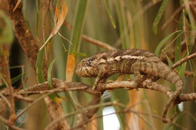 Warty chameleon at  Arboretum d'Antsokay, Tulear, Madagascar