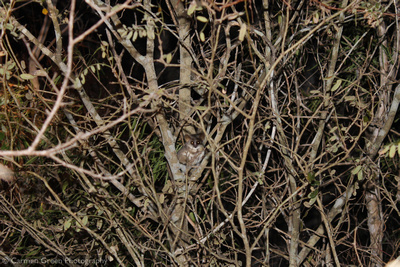 Mouse lemur in the spiny forest of Madagascar